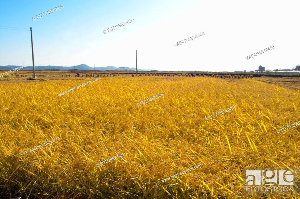 Stock Photo: nature, ricefield, rice plant, plants, plant, country.