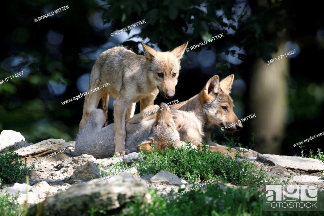 Stock Photo: deer wolves, (Canis lupus lycaon), young animals, puppy, captive.