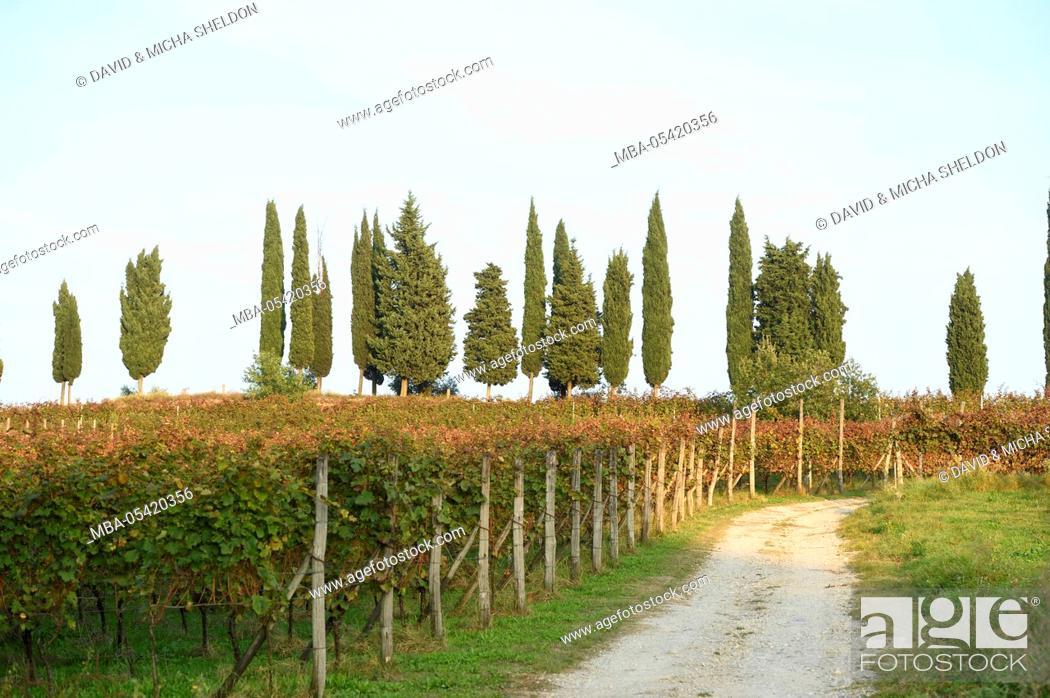 Stock Photo: Italy, landscape, vineyards, cypresses.