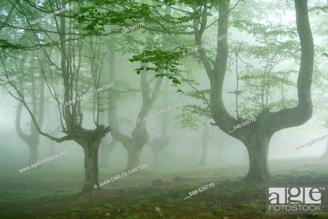 Stock Photo: Beechwood (Fagus sylvatica). Campas de Arraba. Biscay, Spain.