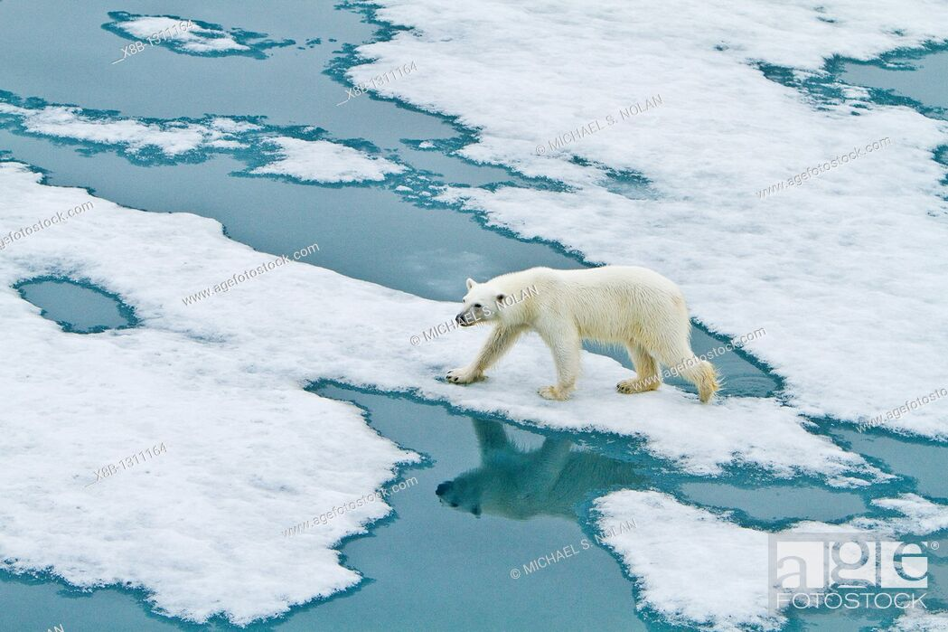 Stock Photo: Young curious female polar bear Ursus maritimus approaches the Lindblad Expedition ship National Geographic Explorer on fast ice near Hinlopen Strait off the.
