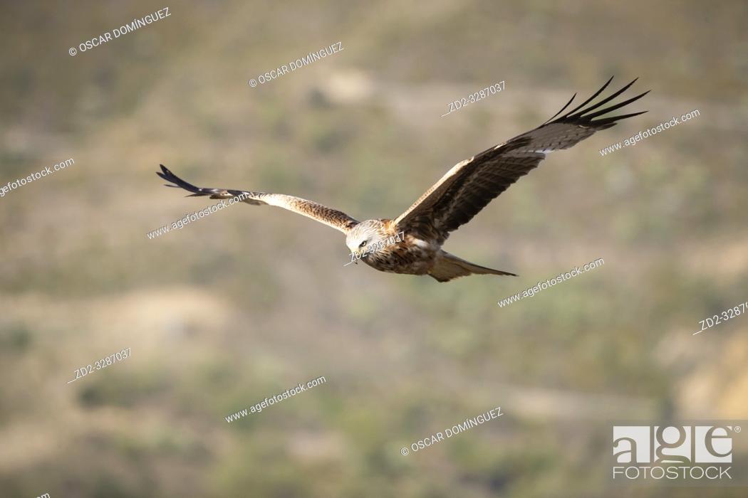 Stock Photo: Red Kite (Milvus milvus) in flight. Pre-Pyrenees. Lleida province. Catalonia. Spain.