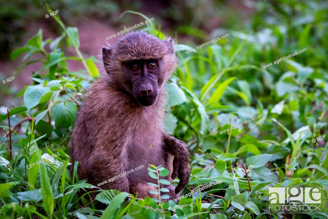 Stock Photo: Baby olive baboon sitting amongst leafy plants.