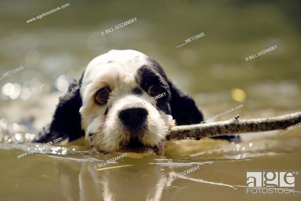 Stock Photo: Cute Spaniel Puppy Swimming with Stick - Cedar Mountain, North Carolina, USA.