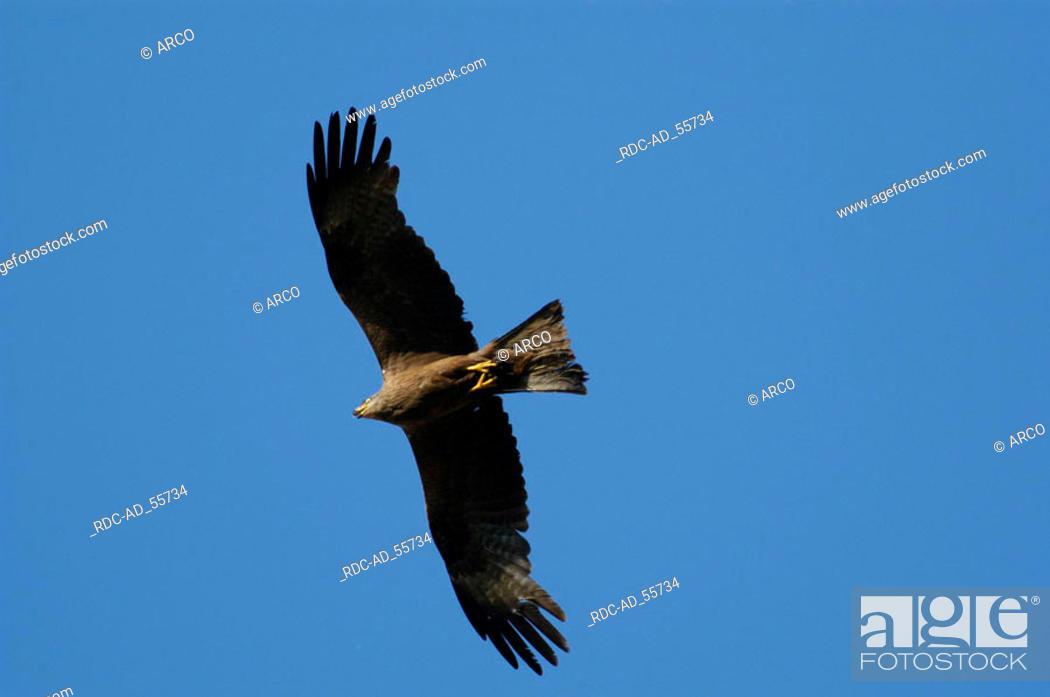 Stock Photo: Black Kite Hessen Germany Milvus migrans.