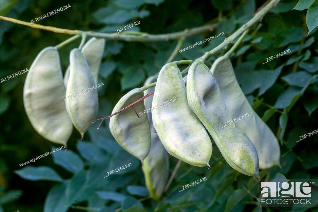Imagen: Kentucky coffeetree (Gymnocladus dioicus) pods.