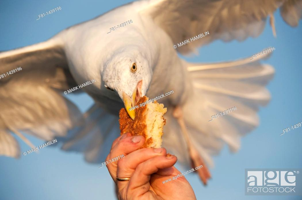 Stock Photo: Herring gull Larus argentatus taking bread from person's hand  August 2009.