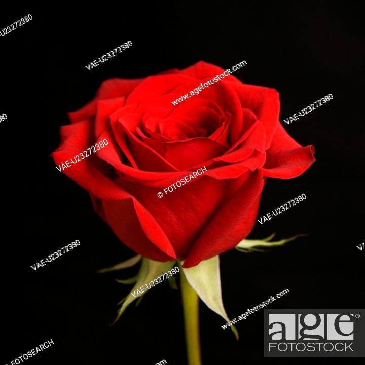Stock Photo: Single long-stemmed red rose against black background.