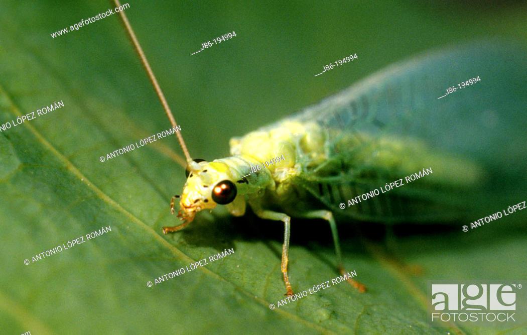 Stock Photo: Lacewing (Chrysopa carnea).