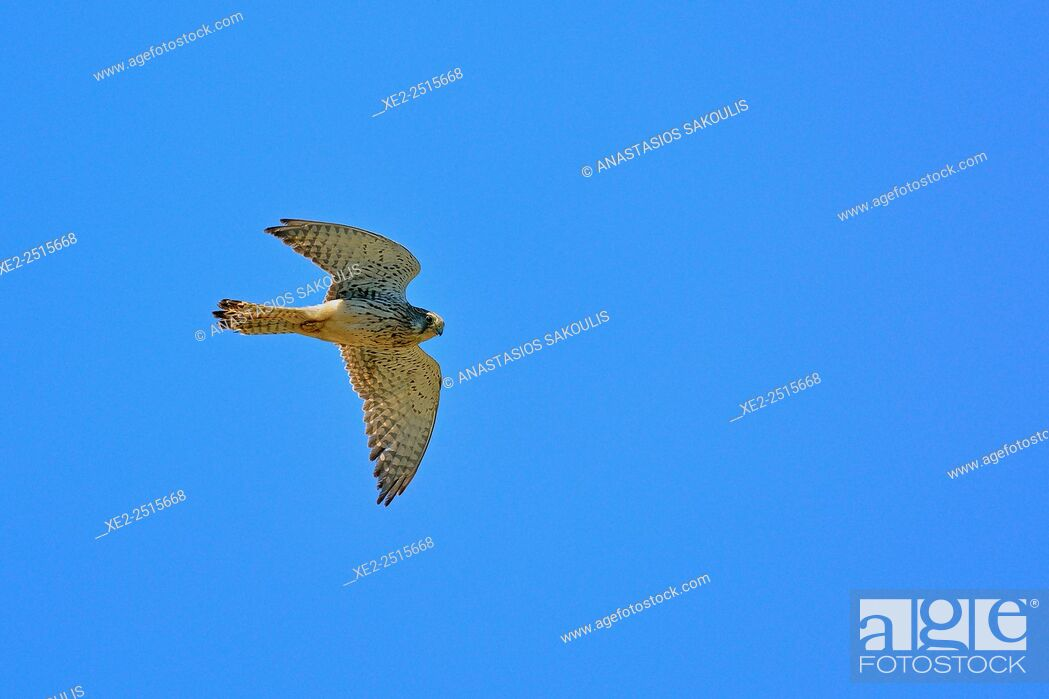 Stock Photo: Common Kestrel Falco tinnunculus, Crete.