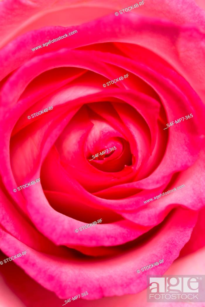 Stock Photo: Detail of a rose blossom.