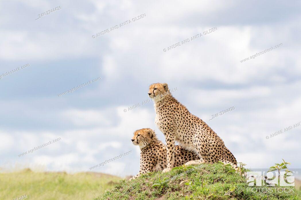 Imagen: Two Cheetah (Acinonix jubatus) sitting together on hill looking over savanna, Maasai Mara National Reserve, Kenya.