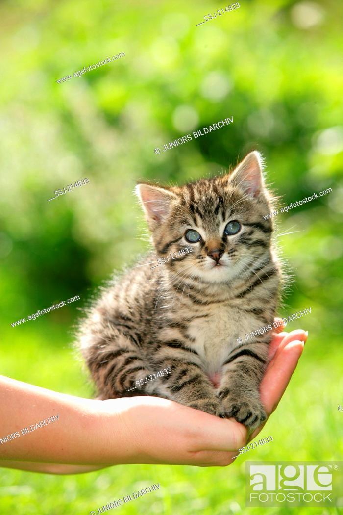 Stock Photo: Domestic cat. Tabby kitten on a hand. Germany.