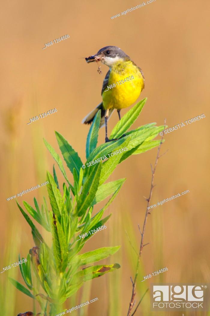 Stock Photo: Yellow Wagtail Motacilla flava, Majorca, Spain.