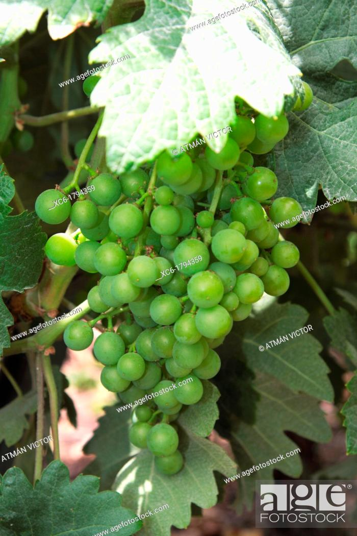 Stock Photo: Bunch of grapes in North Tenerife, Canary Islands, Spain.