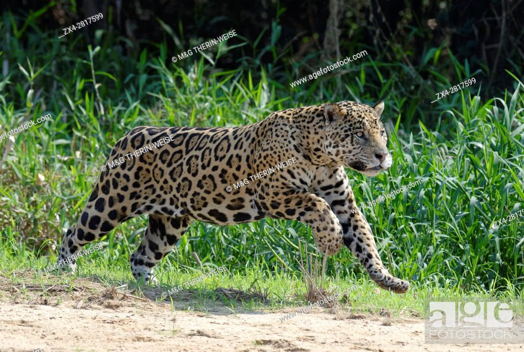 Imagen: Male Jaguar (Panthera onca) running and chasing, Cuiaba river, Pantanal, Mato Grosso, Brazil.
