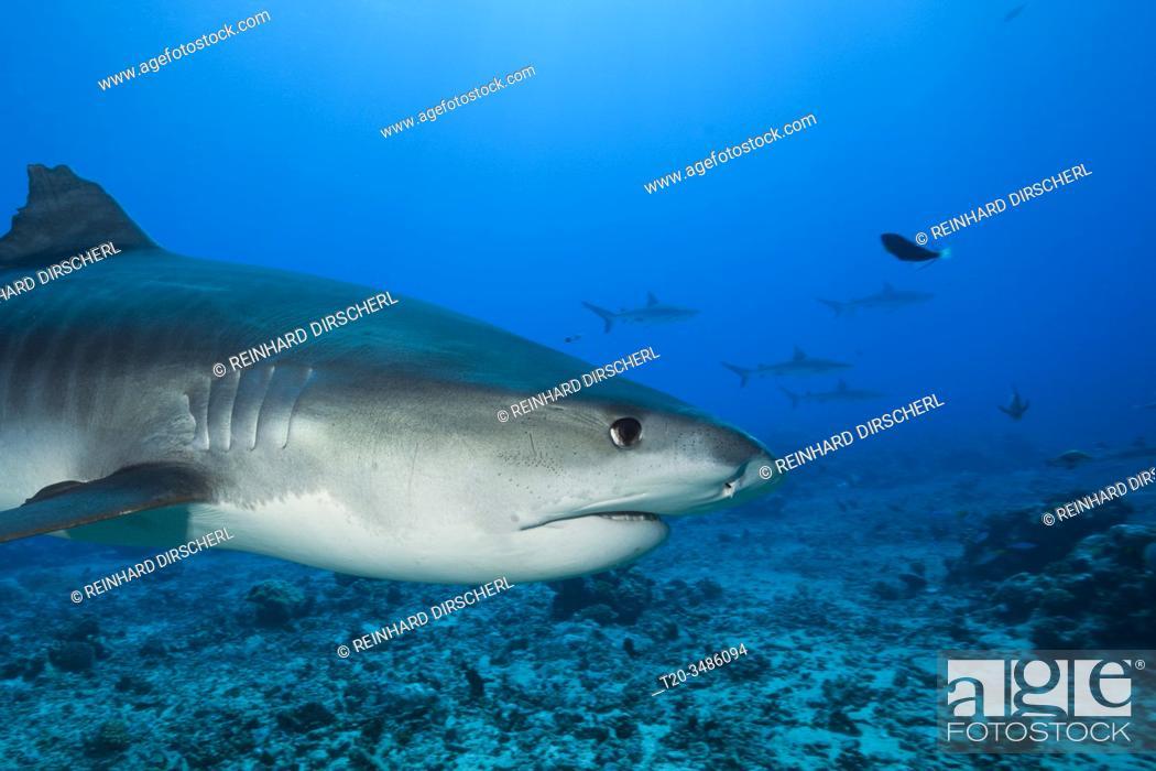 Stock Photo: Tiger Shark, Galeocerdo cuvier, Moorea, French Polynesia.