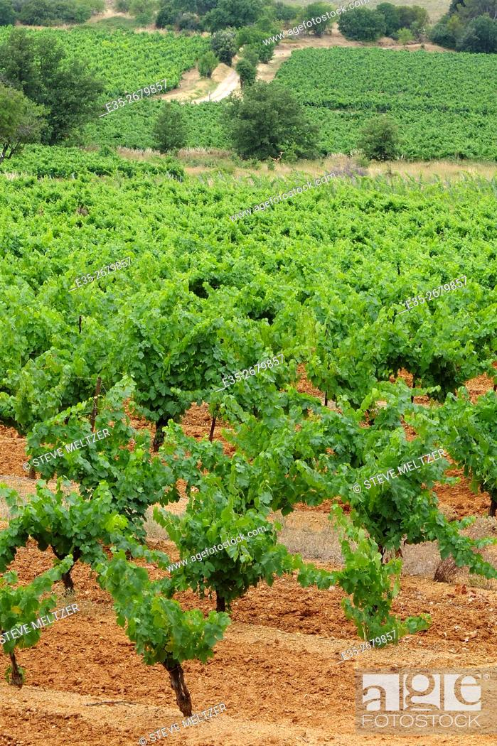 Stock Photo: Early summer vineyard in the South of France.