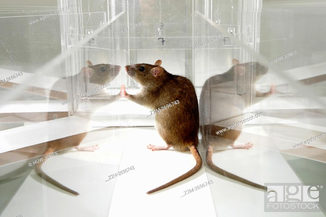 Photo de stock: Laboratory Rat in psychology experiment, glass maze.