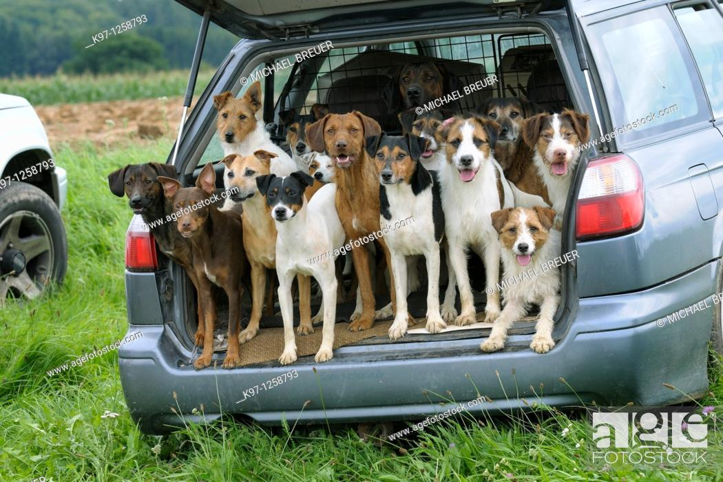 Stock Photo: Pack of hounds in car, Germany, Europe.