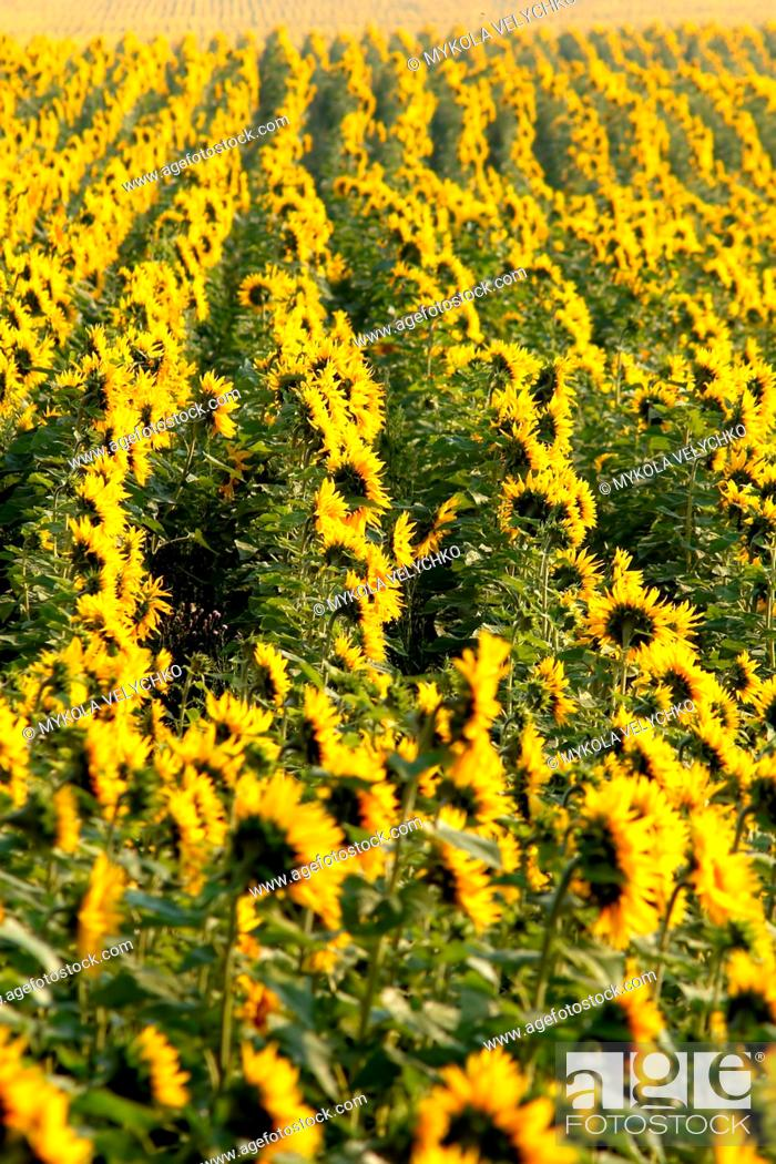 Stock Photo: sunflowers on the field.