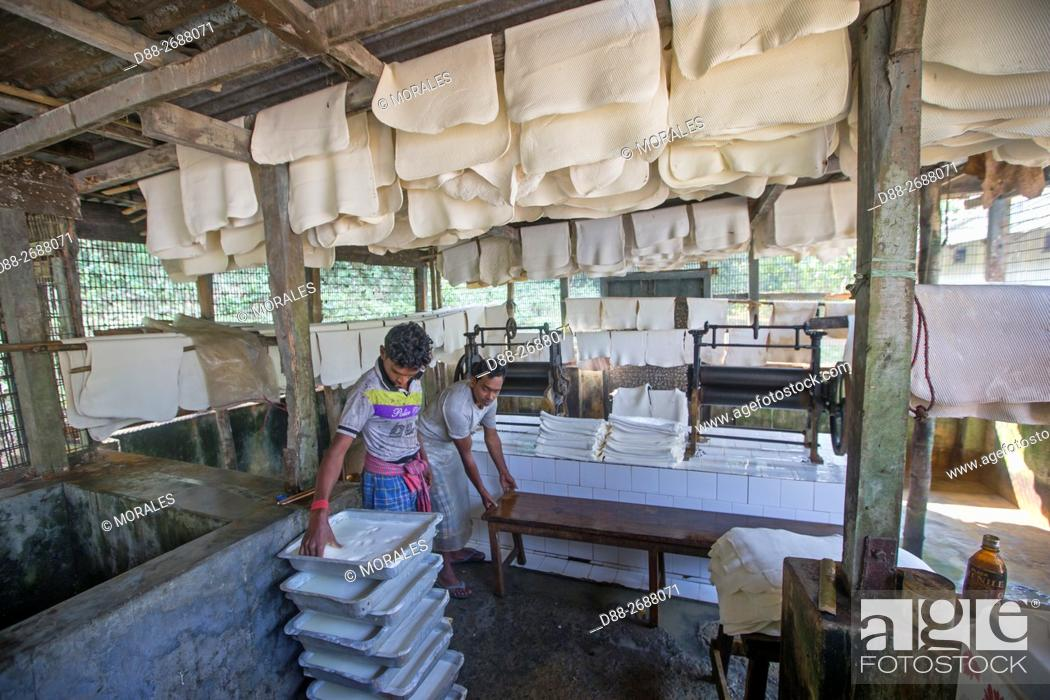 Stock Photo: South east Asia, India,Tripura state,harvesting latex from rubber trees,manufacturing rubber sheets from the latex.