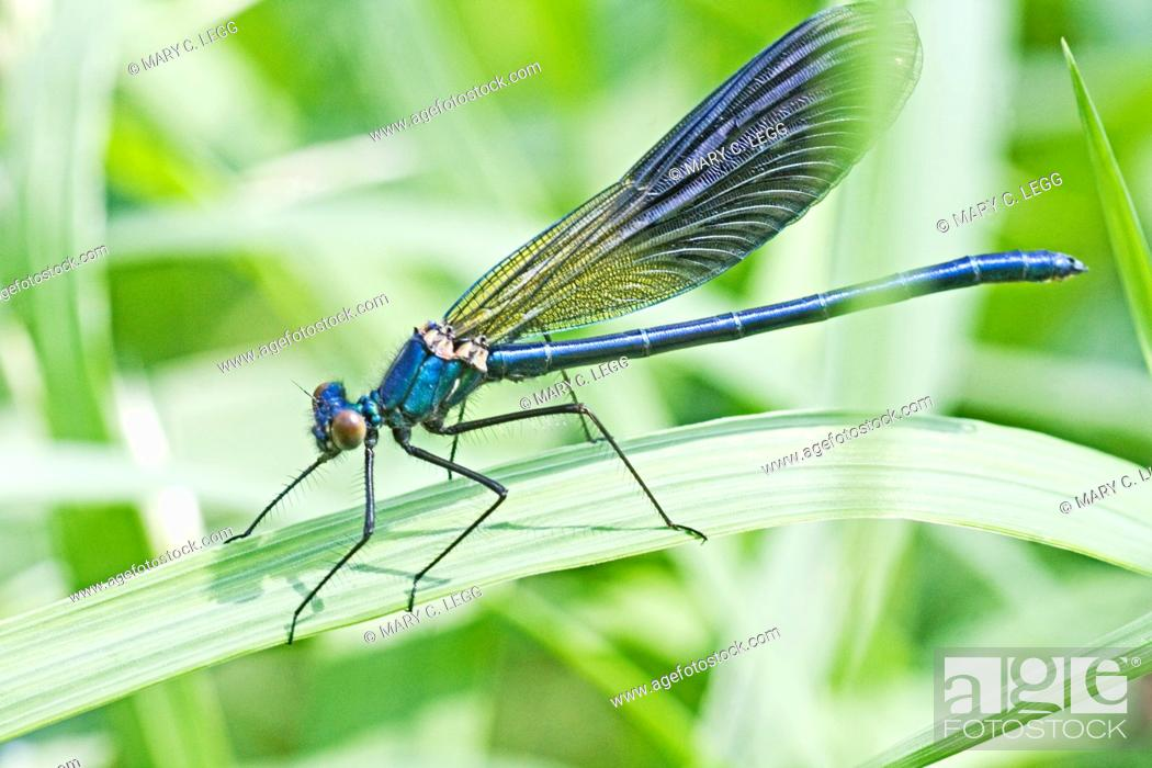 Stock Photo: Banded Demoiselle, Calopteryx splendens  Male  Metallic midnight blue  Details of spikes on legs visible  Srbsko, Czech Republic.