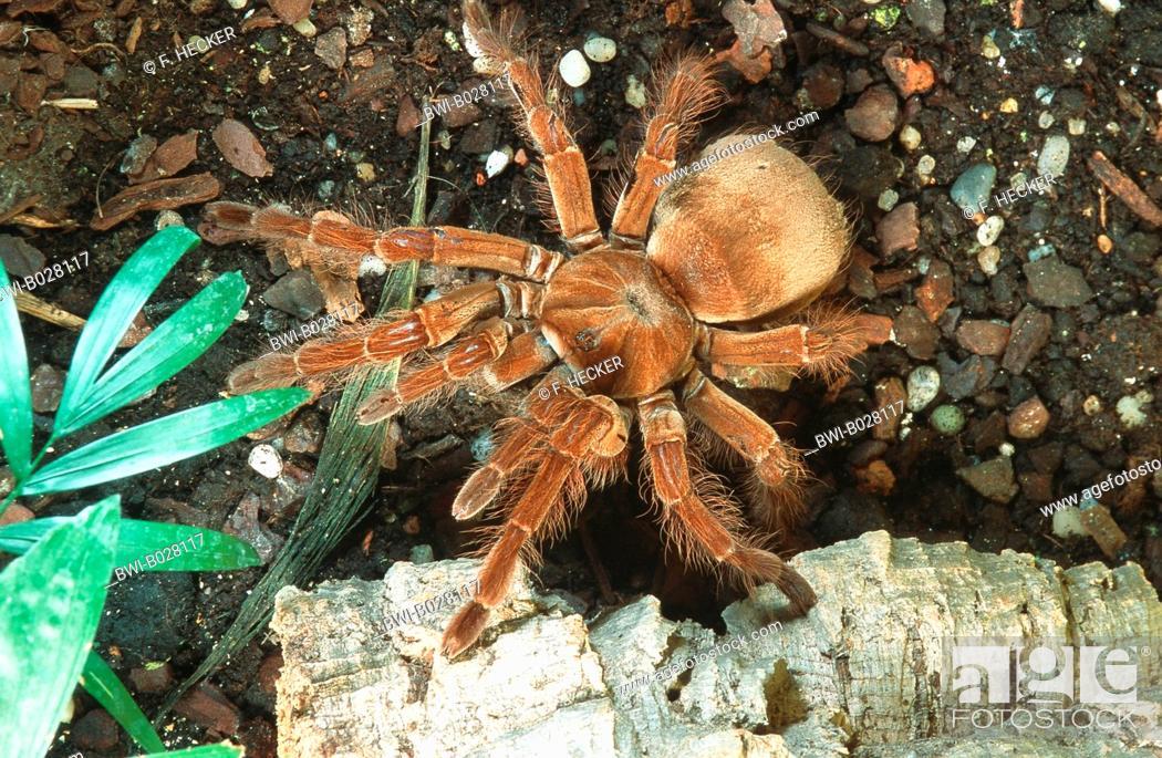 Stock Photo: goliath birdeater tarantula (Theraphosa blondi, Theraphosa leblondi), largest spider of the world, Suedamerika.