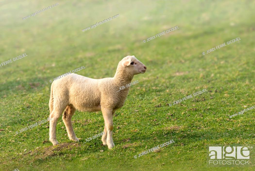 Stock Photo: Lamb in a green field, Sant Pau de Segúries, Ripollès, Catalonia, Spain, Europe.