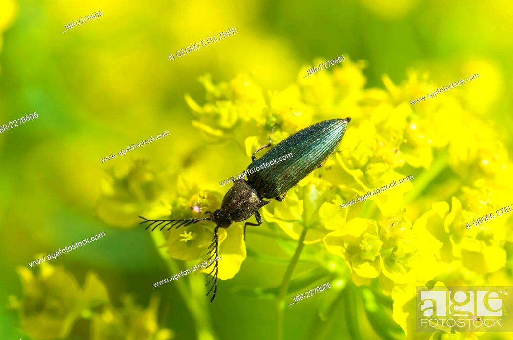Stock Photo: Click beetle (Ctenicera pectinicornis) perched on a cypress spurge (Euphorbia cyparissias), Moenchbruch nature reserve, Hesse, Germany, Europe.