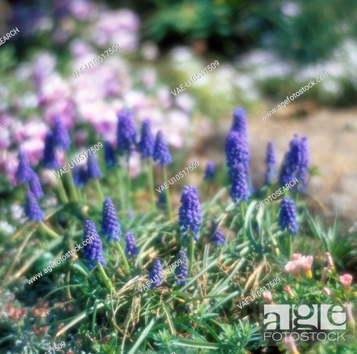 Stock Photo: Blue Lavender.