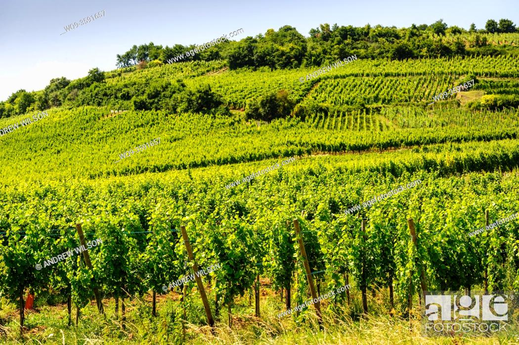 Stock Photo: Vines growing on the foothills of the Vosges Mountains near Sigolsheim, Alsace, France.