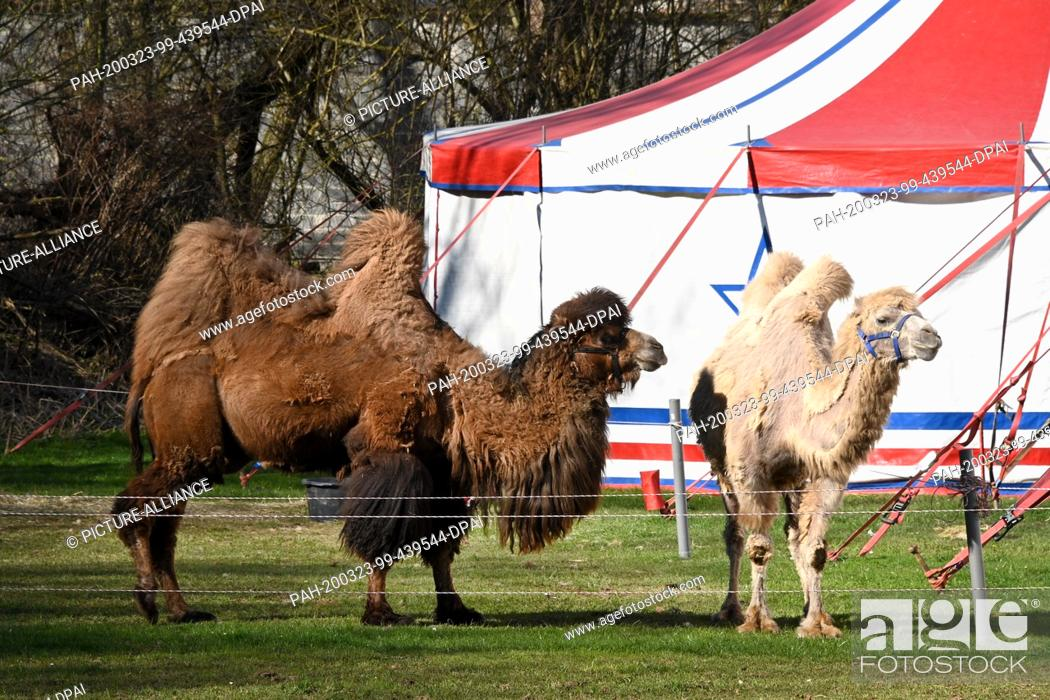 Stock Photo: 22 March 2020, Hessen, Fritzlar: Camels of the circus Paul Busch, who has set up his tents in the Eder floodplains, stand on the meadow.