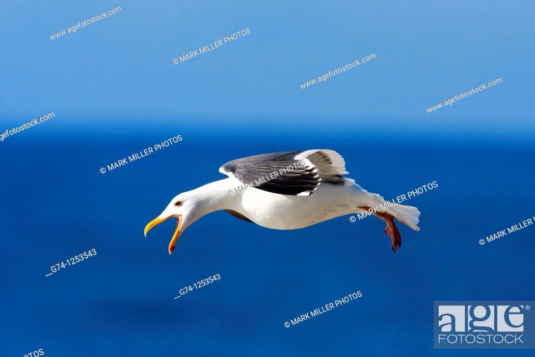 Stock Photo: California Gull along Pacific Seashore California USA.