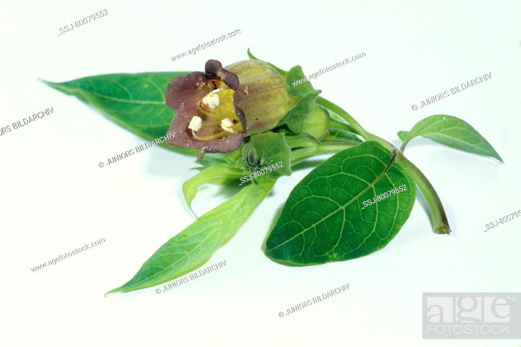 Stock Photo: DEU, 2004: Belladonna, Deadly Nightshade, Devils Cherry (Atropa bella-donna), twig with leaves and flower, studio picture.