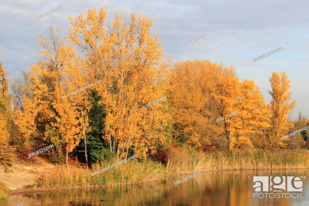 Stock Photo: white poplar, silver-leaved poplar, abele (Populus alba), landscape at the Old Rhine with floodplain forest in autumn colours, Germany.