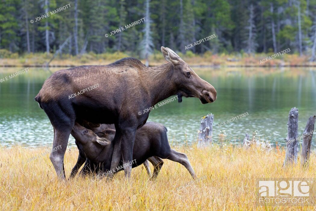 Stock Photo: Moose calves and mother, Alces alces, British Columbia, Canada.