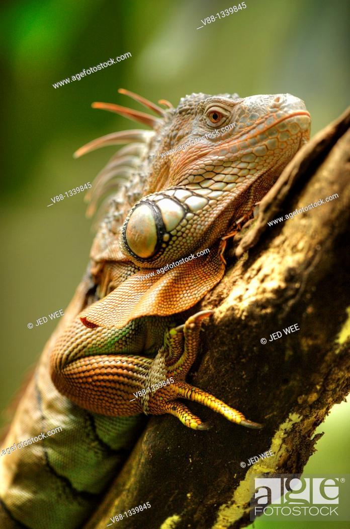Stock Photo: Green Iguana (Iguana iguana), Singapore Zoological Gardens, Singapore.