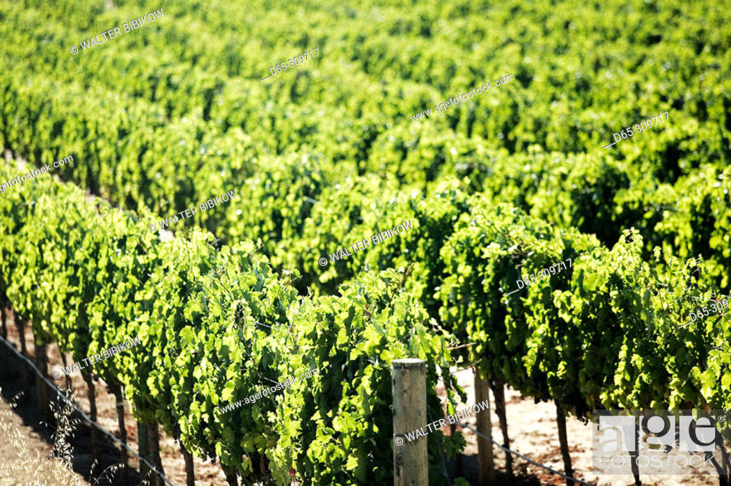 Stock Photo: Vineyards in Yountville (Napa Valley). California, USA.