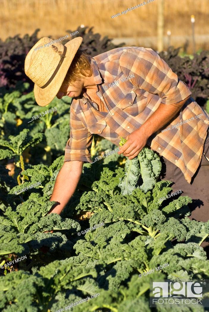 Stock Photo: Young man picking kale on small organic farm, Nevada City, California.