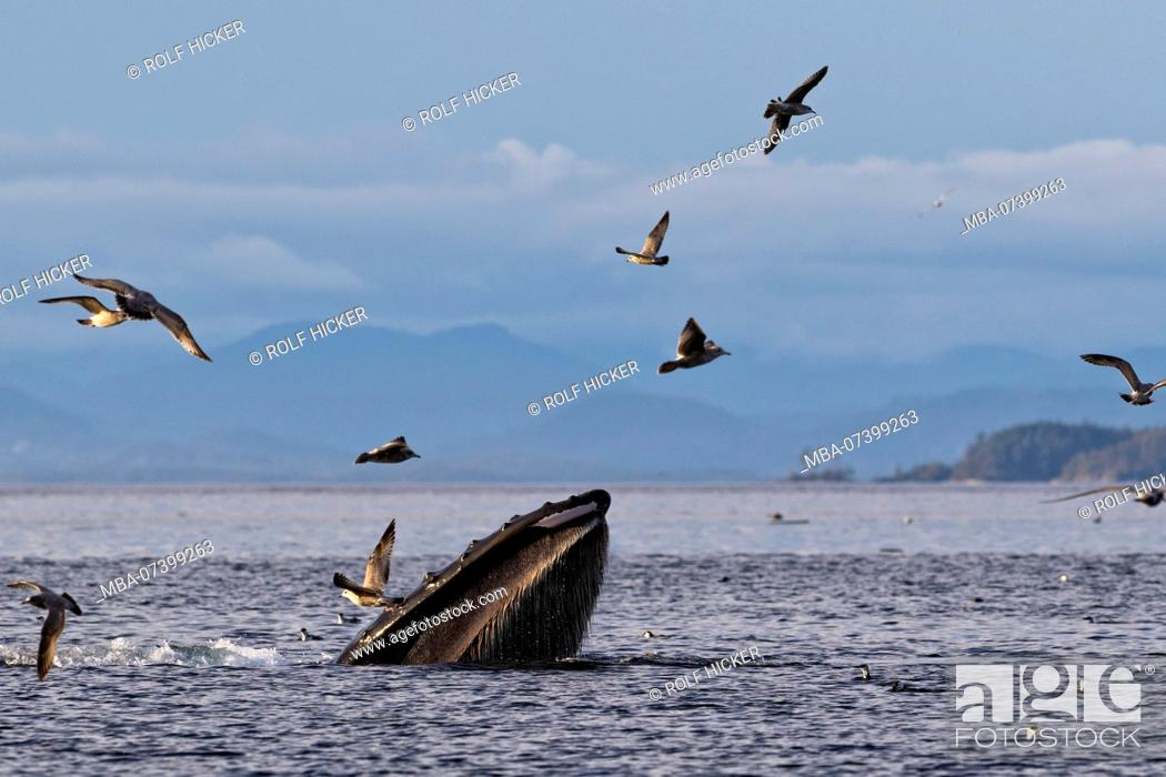 Stock Photo: Humpback whale (Megaptera novaengliae) trap feeding in front of the British Columbia Coastal Mountains in Queen Charlotte Strait off Vancouver Island.