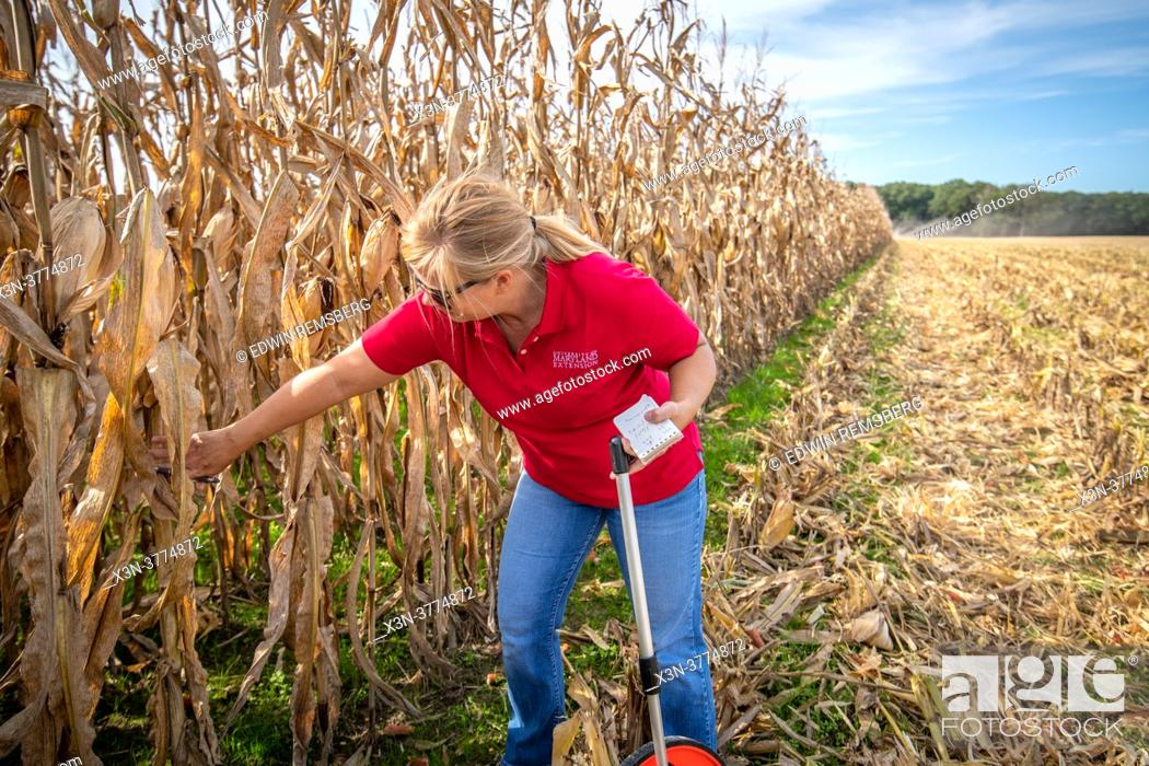 Stock Photo: Ag Agent in field checking corn crop.