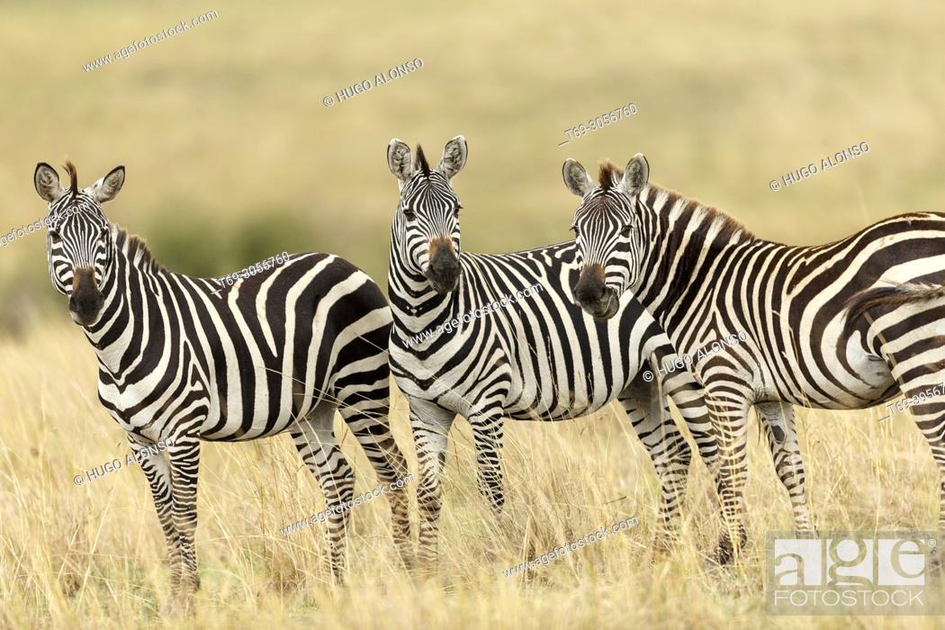 Stock Photo: Group of Grévy's zebra. Equus grevyi. Kenia. Africa.