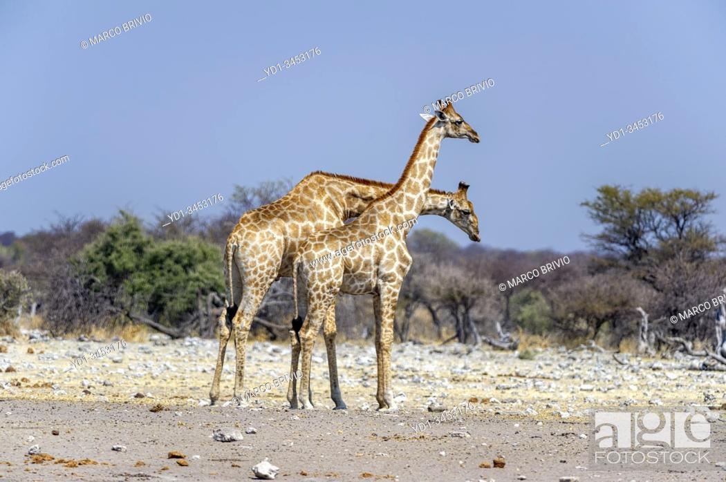Stock Photo: Namibia, Africa. Giraffes at Etosha National Park.