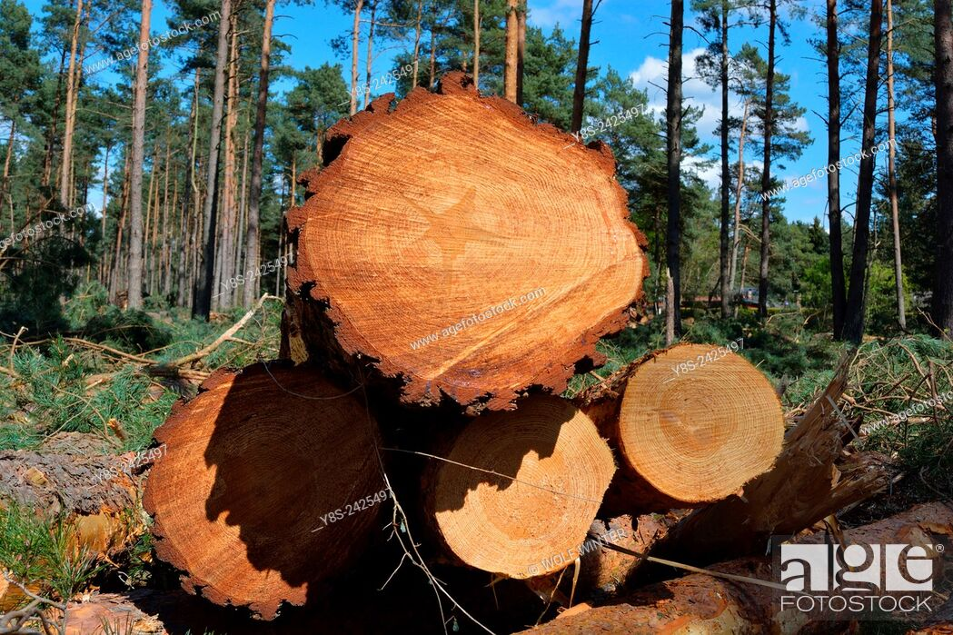 Stock Photo: Wood Harvest after a Storm, Gifhorn, Lower Saxony, Germany.