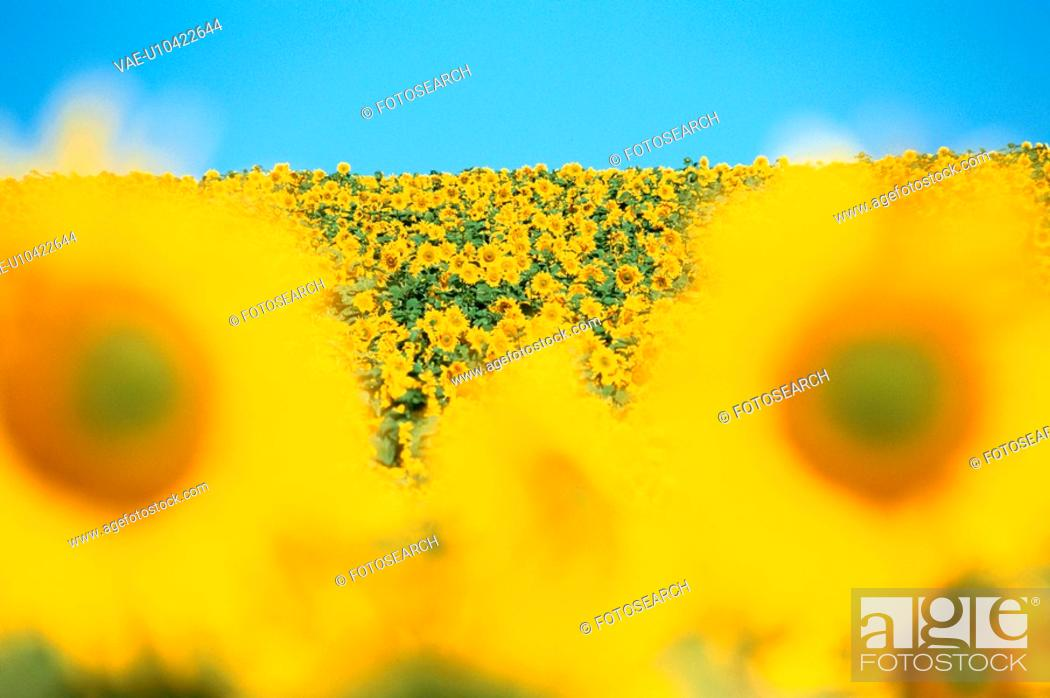 Stock Photo: Sunflowers In Field.