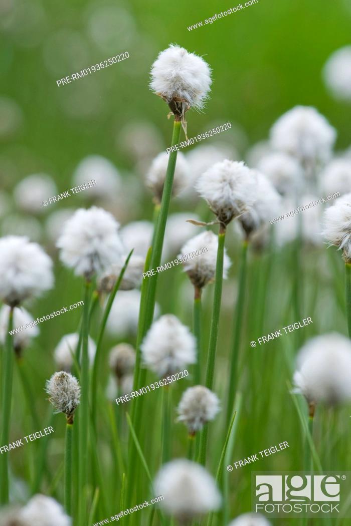 Imagen: Scheuchzer's cottongrass, Eriophorum scheuchzeri / Scheuchzers Wollgras, Eriophorum scheuchzeri.