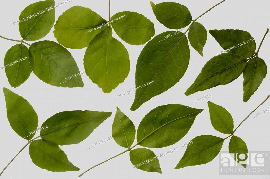Imagen: Bael leaves.