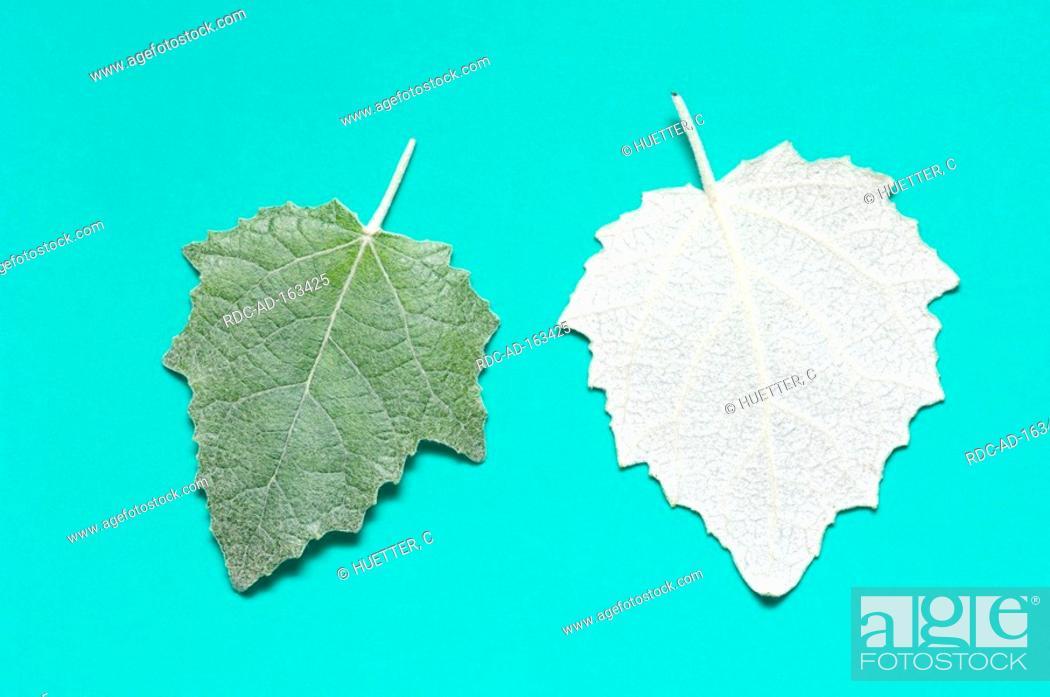 Stock Photo: White Poplar leaves Populus alba Silver Poplar.