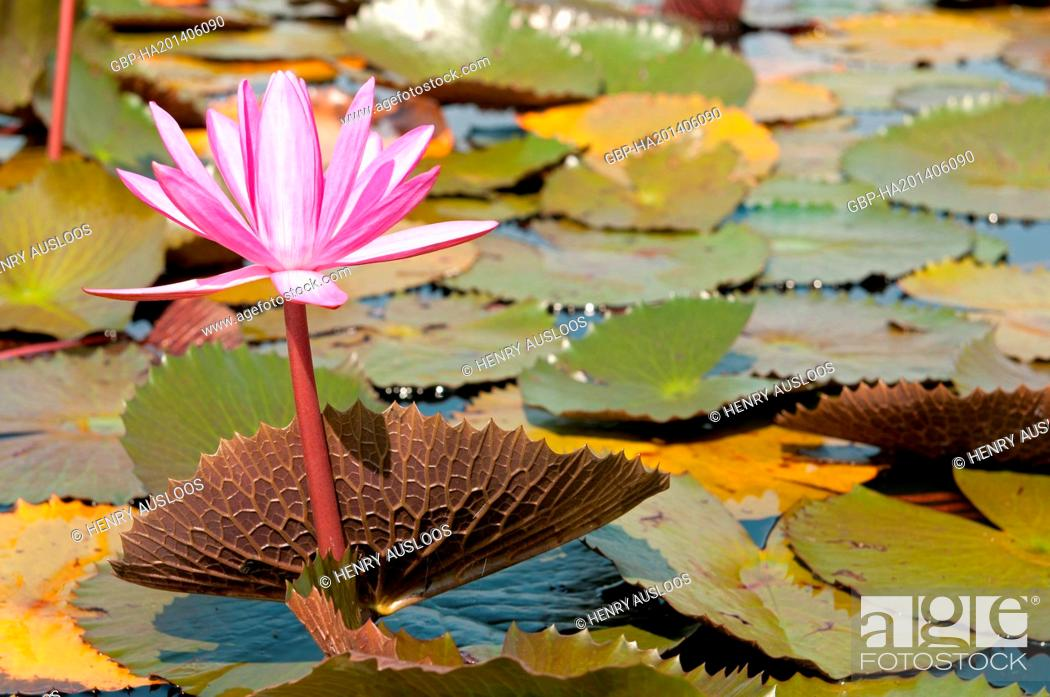 Stock Photo: Red Indian water lily - opend flower (Nymphaea pubescens) - Tale Noi - Patthalung - Thailand.
